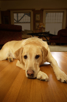 Dog Lying on a Hardwood Floor